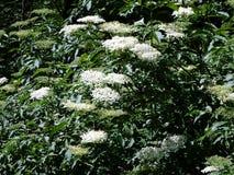 Fleur et feuilles de fleur de sureau Photos stock