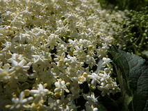 Fleur et feuilles de fleur de sureau Images stock