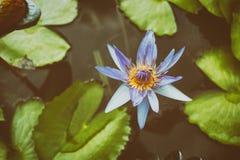 Fleur et feuilles de lotus pourpres dans l'étang images libres de droits