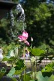 Fleur et feuilles de Lotus roses Photographie stock libre de droits