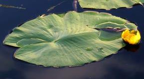 Fleur et feuilles de lutea jaune de Nuphar de nénuphar Images libres de droits