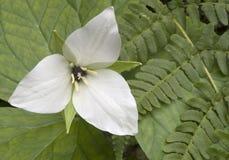 Fleur et fougères de Trillium Photographie stock