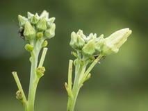 Fleur et fourmis de luffa Photos stock