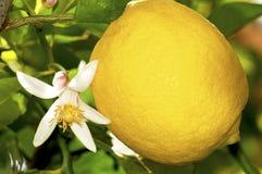 Fleur et fruit de citron photos stock