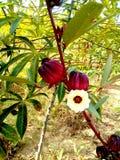 fleur et fruit de la Jamaïque comestibles photo stock