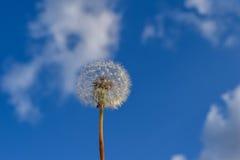 Fleur et graines de pissenlit sur le fond de ciel Photographie stock libre de droits