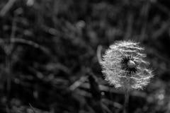 Fleur et graines de pissenlit sur le fond de ciel Images stock