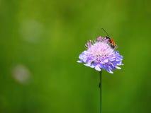 Fleur et insecte de scabieuse de champ (arvensis de Knautia) Image stock