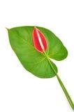 Fleur et lame de flamants rouges Photo stock