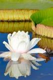 Fleur et lame de Victoria Waterlily Images stock