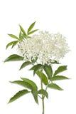 Fleur et lames de baie de sureau Image libre de droits