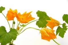 Fleur et lames de courge d'isolement sur le blanc photographie stock libre de droits