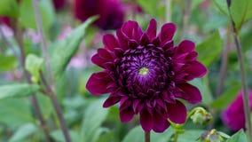 Fleur et pétales de dahlia pourpre sur un fond vert Image stock
