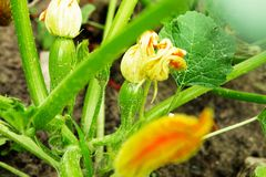 Fleur et plante de courgette Courge à la moelle verte s'élevant sur l'autobus Photographie stock libre de droits