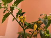 Fleur et plante de tomate images libres de droits