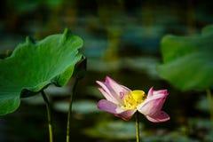 Fleur et plantes de Lotus Photos libres de droits