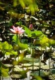 Fleur et plantes de Lotus Images stock