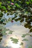 Fleur et plantes de Lotus Images libres de droits