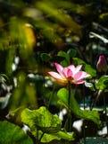 Fleur et plantes de Lotus Image stock