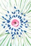 Fleur et ranunculus bleus de muscari sur le fond blanc Photo libre de droits
