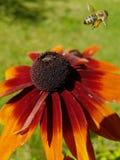 Fleur et une abeille images libres de droits