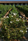 Fleur et vigne au Chili photographie stock libre de droits
