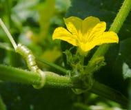 Fleur et vigne de concombre photographie stock