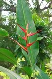 Fleur exotique de Heliconia Image libre de droits