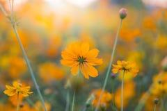 Fleur extérieure de cosmos Image stock