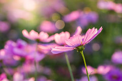 Fleur extérieure de cosmos Photo stock