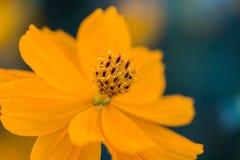 Fleur extérieure de cosmos Photos libres de droits