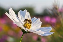 Fleur extérieure de cosmos Images stock