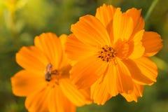 Fleur extérieure de cosmos Photographie stock libre de droits