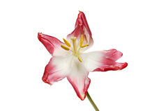 Fleur fanée de tulipe Image stock