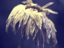 Fleur fanée jaune sur le fond génial pourpre image stock