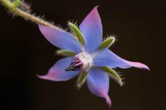 Fleur fantastique de bourrache reflétée dans l'obscurité Images stock