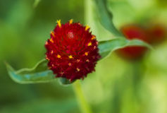 Fleur fantastique rouge/jaune Image libre de droits
