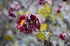 Fleur figée photos libres de droits
