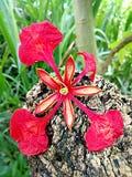 Fleur flamboyante photographie stock libre de droits