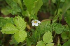 Fleur fleurie, fraises de forêt Photographie stock libre de droits