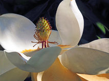 Fleur fleurie rose de magnolia Image stock