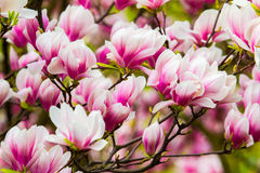 Fleur fleurie rose de magnolia Images stock