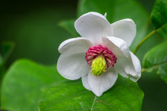 Fleur fleurie rose de magnolia Photographie stock libre de droits