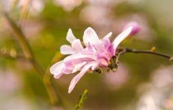 Fleur fleurie rose de magnolia Photos libres de droits
