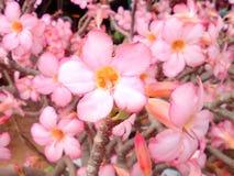 Fleur fleurissant entièrement Images libres de droits