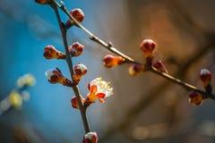 Fleur fleurissante d'abricot Photo libre de droits
