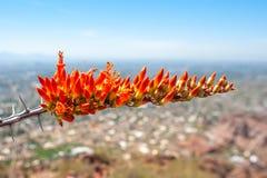 Fleur fleurissante d'Ocotillo sur une colline Photographie stock libre de droits