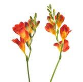 Fleur Floxia Images libres de droits
