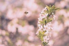 Fleur fraîche de fleur de ressort sur l'arbre Photo libre de droits