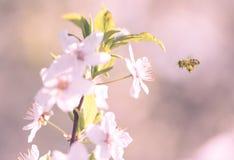 Fleur fraîche de fleur de ressort sur l'arbre Images stock